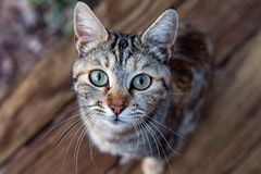 White and brown cat looking at you green eyes. Green eyes white and brown cat looking at you close up portrait Stock Photography