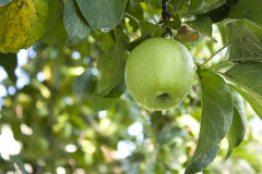 green för äpplefilialclose upp Arkivbild