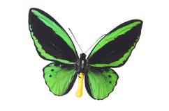 green för 6 fjäril Arkivfoton