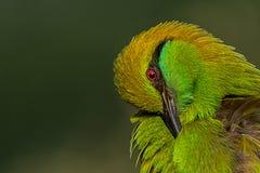 green för bifågeleater Arkivbilder