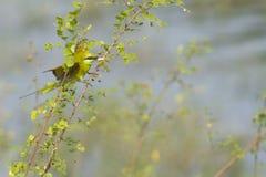 green för bifågeleater Royaltyfria Bilder