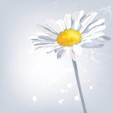 green för blomma för bakgrundscamomilefält Blåtthav, Sky & moln Arkivfoto