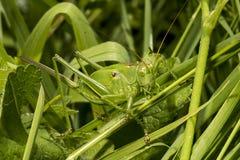 green för buskesyrsa utmärkt arkivfoto