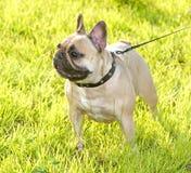 green för gräs för bakgrundsbulldogg fransk Arkivbilder