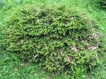 green för gran 3d Royaltyfria Bilder