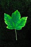 Green fallen leaf on. A green fallen leaf on dark ground Stock Image