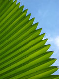 A Green Fan Palm Leave Stock Photos
