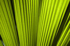 Green fan palm leaves Royalty Free Stock Photography