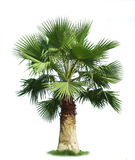 Green fan palm tree Stock Photos