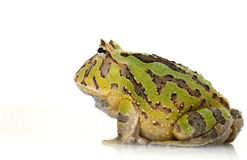 Green Fantasy Frog Stock Image