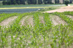 Green farm field. In line with blur in front stock photo