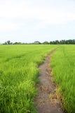 Green farm rice Royalty Free Stock Photography