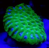 Green Favites Coral. Detail of bright fluorescent green favites brain coral underwater Stock Photos