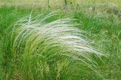 Green feather grass, mat grass Stock Images