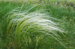 Green feather grass Stock Image