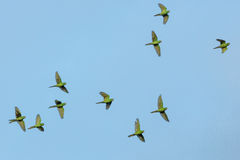 Green Feathered Bird on Mid Air Flying Stock Photography