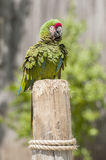 Green feathered macaw Stock Photos
