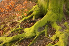 Green Feet. The green (visible) roots of a common beech (Fagus sylvatica Royalty Free Stock Images