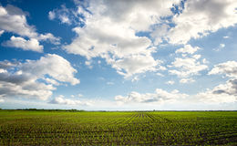 Green feld. With beautiful sky, agricultural composition Stock Image