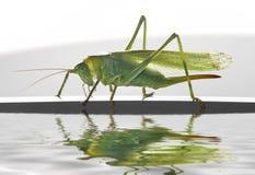 Green female grasshopper Stock Images