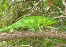 Green Female Jackson's Chameleon lizard, Chama. Beautiful bright green female Jackson's Chameleon lizard, Chamaeleo jacksonii, using camouflage and walking Stock Images