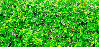 Green Fence Bush texture background Royalty Free Stock Image