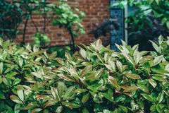 Green fence of plants against a brick wall selective focus Royalty Free Stock Photo