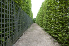 Green fence. Precisely trimmed hedge in a summer park Royalty Free Stock Photo