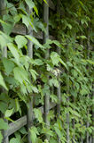Green fence. Precisely trimmed hedge in a summer park Stock Photos