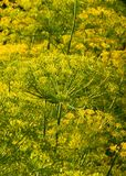 Green fennel Royalty Free Stock Photos
