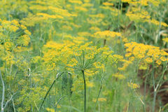 Green fennel Stock Image