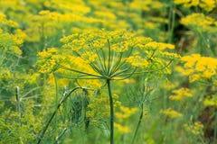 Green fennel Stock Photo