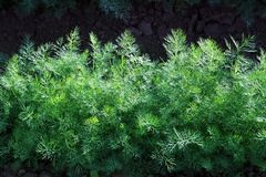 Green fennel grows on soil Royalty Free Stock Image