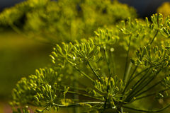 Green fennel Stock Photos