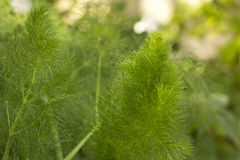 Green fennel plant growing Stock Photos