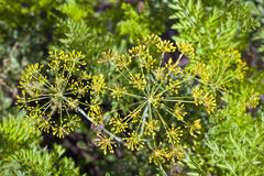 Green fennel seeds Royalty Free Stock Images