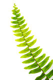 Green Fern Stock Photo