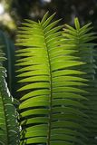 Green fern Royalty Free Stock Photography