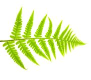 Green fern Royalty Free Stock Photo
