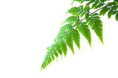 Green fern. royalty free stock image