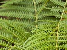 Green Fern. Detail of a green fern leaves Stock Image