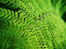 Green Fern. Macro of green fern in the garden Royalty Free Stock Photography
