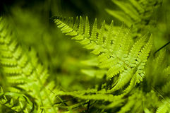 Green fern. A close-up shot of a green fern royalty free stock images