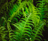 Green Fern royalty free stock image