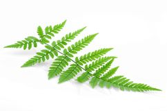Green fern. Easy to isolate green fern leaf Royalty Free Stock Images