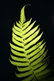 Green fern. On black background Stock Images