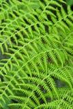 Green Fern. Vivid green fern in sun light Stock Photography
