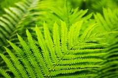 Free Green Fern Royalty Free Stock Image - 56572816