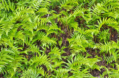 Green fern as  background Royalty Free Stock Image