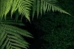 Green fern background. Freshness Green leaf of Fern, Place for text stock image